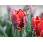 Тюльпаны Rococo 12/+
