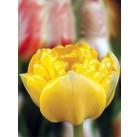 Тюльпаны Gironde