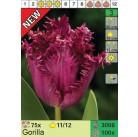 Тюльпаны Gorilla (x100) 11/12 (цена за шт.)