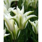 Тюльпаны Green Star