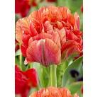 Тюльпаны Gudoshnik Double