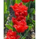 Тюльпаны Indiana