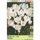 Крокусы Large White (x8) 7/8 (цена за упаковку)