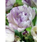 Тюльпаны Normandie