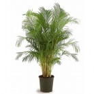 Пальма areca