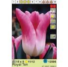 Тюльпаны  Royal Ten (цена за шт.)
