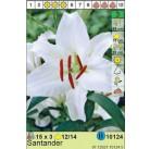 Лилии  Santander (x3) 12/14 (цена за шт.)