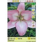 Лилии  Samur (x3) 12/14 (цена за шт.)