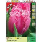 Тюльпаны Santander (x100) 11/12 (цена за шт.)