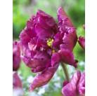 Тюльпаны Negrita Parrot