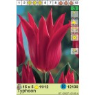Тюльпаны  Typhoon (x5) 11/12 (цена за шт.)