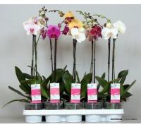 Орхидея Phalaenopsis микс 12.0 50