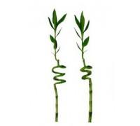 Драцена сандерса Lucky Bamboo 5.0 50-70