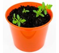 """Бархатцы """"Азбука расттений"""" набор для выращивания BONTILAND (горшочек, питательный субстрат, семена, пластиковая лопатка для рыхления)"""