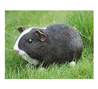 Садовая фигурка Морская свинка черно-белая BJ112232V-1(Р2 С2)