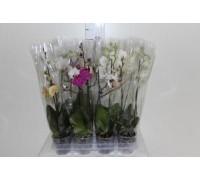 Орхидея Phalaenopsis d12 h 60