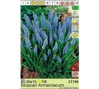 Мускари  Armeniacum (x15) 7/8 (цена за упаковку)